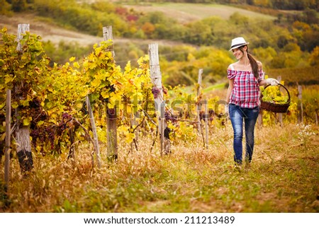 woman walks with the harvest of grapes from the vineyard - stock photo