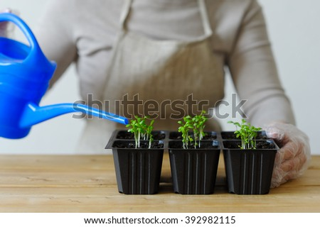 Woman waters young seedlings in boxes with other sprouts