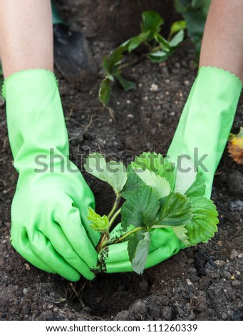 Woman (wearing gloves closeup) planting strawberry seedlings - stock photo