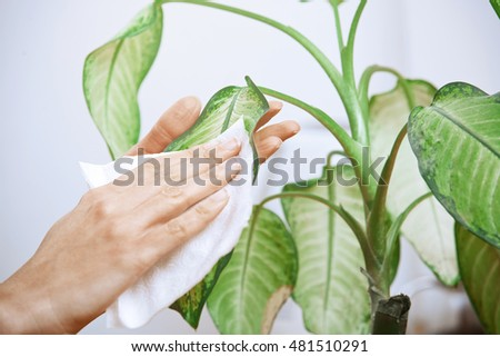 Woman wiping leaves of potted plant