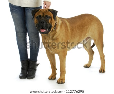 woman with big dog - woman holding collar of bull mastiff isolated on white background - stock photo