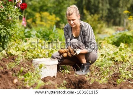 Woman working in garden, harvesting eco potatoes - stock photo