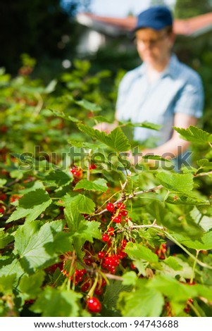 Woman working in the redcurrant bush. - stock photo