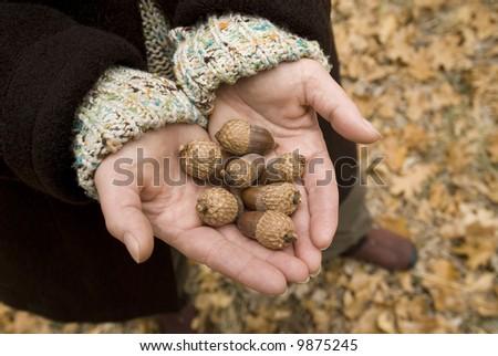 womans hands holding black oak acorns - stock photo