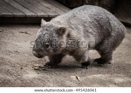 Wombat in Australian zoo