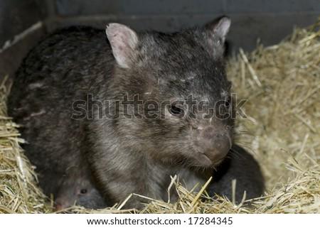 Wombat sitting in nest - stock photo