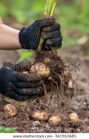 women hands in gloves holding digging bush potato - stock photo