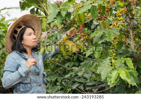 women picking coffe seed in the farmland - stock photo