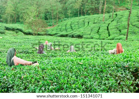 women plucking tender tea leaves.Tea estate. Tea plucking. women at work in a tea plantation in Munnar Kerala India.  - stock photo