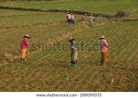 Women tend their crops in irrigated paddies,  Hsipaw,  Myanmar (Burma) - stock photo