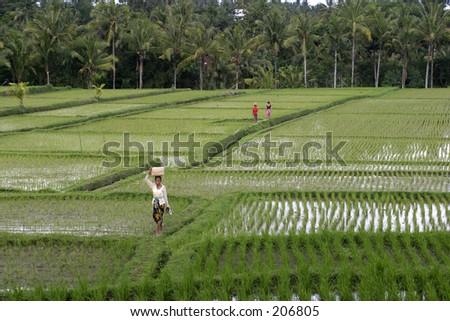 Women walking in a ricefield near Ubud, Bali - stock photo