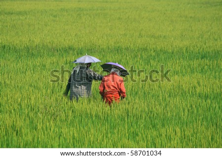 Women wearing umbrella hats working in  paddy fields. An Indian farming scene.