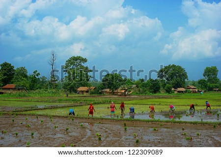 Women working in the green rice fields landscape in Nepal Chitwan