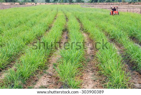 Wonder - full rows of green sugar cane. - stock photo