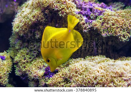 Wonderful and beautiful underwater world with corals and tropical fish. Goldfish underwater eats coral. Underwater marine life goldfish. Fish yellow in tank with water - stock photo