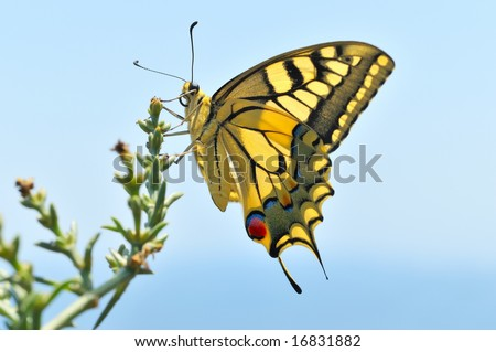 wonderful butterfly against the blue sky - Eastern Tiger Swallowtail - stock photo