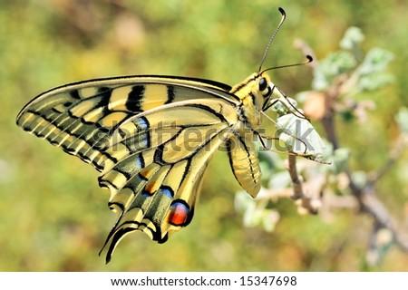 wonderful butterfly - Eastern Tiger Swallowtail