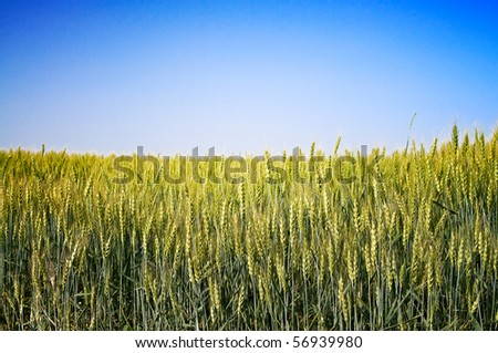 Wonderful field of green wheat. - stock photo