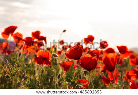 wonderful landscape. majestic view on the poppy blooming field on a summer day. The huge field of red flowers. Sun and clouds. View close-up. picturesque scene. breathtaking scenery. retro style
