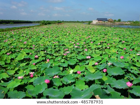 Wonderful landscape of Vietnamese countryside at Mekong Delta on day in summer, vast lotus pond with green leaf and lotus flower, beautiful nature for Vietnam travel