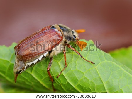 wonderful may beetle on green leaf - stock photo