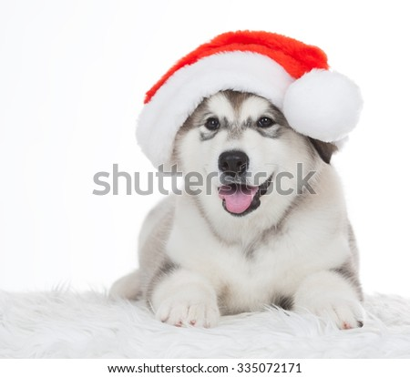 Wonderful one happy puppy Husky, has red Christmas hat. New Year holiday card. Little Santa Claus. Winter background. - stock photo