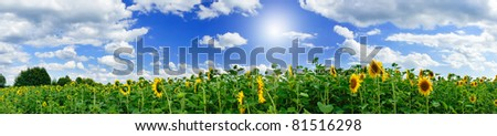 Wonderful  panoramic view  field of sunflowers by summertime. - stock photo