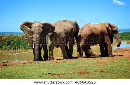 Wonderful photo of three elephants at a watering hole in African savannah. Amazing image. Sweet memories of travel to Africa & South African safari. Postcard. Wild animals in National Parks