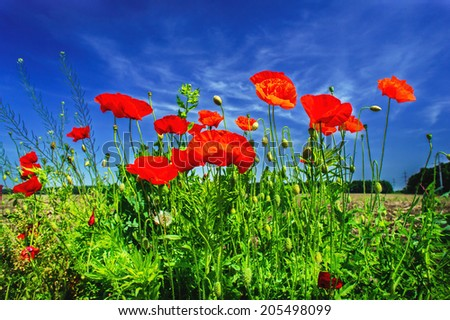 Wonderful poppies and blue sky by summer.