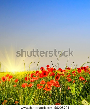 Wonderful poppies and fun sunbeams. - stock photo
