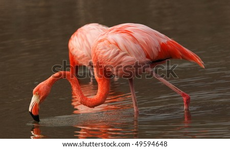Wonderful red flamingo in the water - stock photo