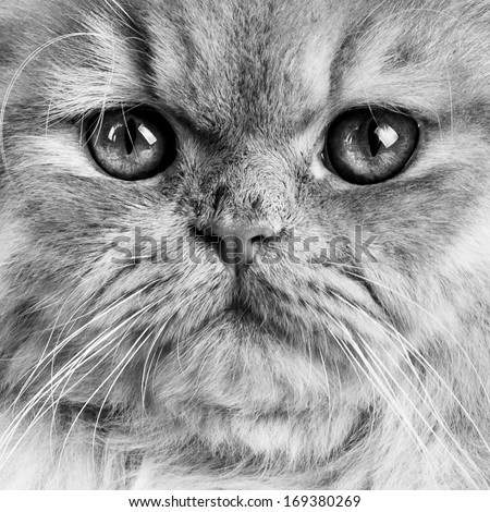 Wonderful red persian cat close up with intense eyes. In Black and White. - stock photo