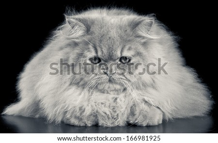 Wonderful red persian cat portrait with intense yellow eyes and looking down. In black and white. - stock photo