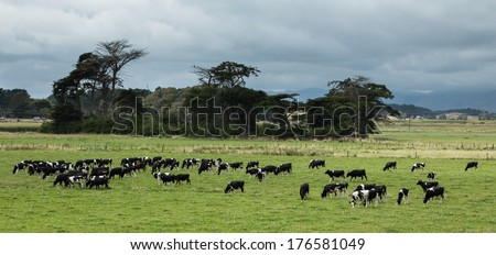 Wonderful rich green farmland with some young cattle grazing. - stock photo