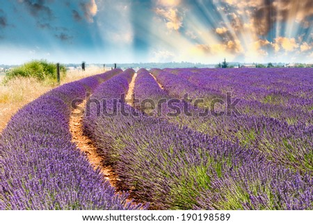 Wonderful shapes and colors of Lavender fields in summer. - stock photo