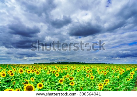 Wonderful summer field of sunflowers and stormy blue sky. - stock photo