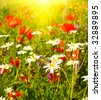 Wonderful sunset and nice camomiles by summer. - stock photo