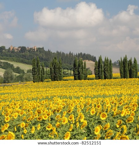 wonderful tuscan scenery with sunflowers and cypresses, Italy, Europe - stock photo