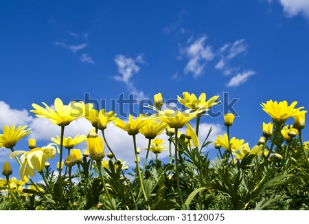 Wonderful yellow daisies flowers in bloom, on a blue sky background. - stock photo