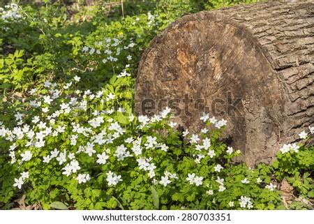 Wood Anemone Wildflowers - stock photo