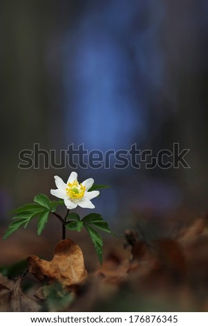 Wood anemone, windflower, thimbleweed, smell fox ( Anemone nemorosa ) - with perfect macro details and blurred background - stock photo