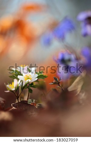 Wood anemone, windflower, thimbleweed, smell fox ( Anemone nemorosa ) - with perfect macro details on yellow steamens and blurred background