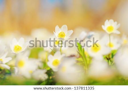Wood Anemone (Windflowers), Anemone nemorosa - stock photo