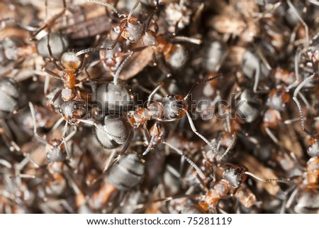Wood ants (Formica rufa) macro photo - stock photo