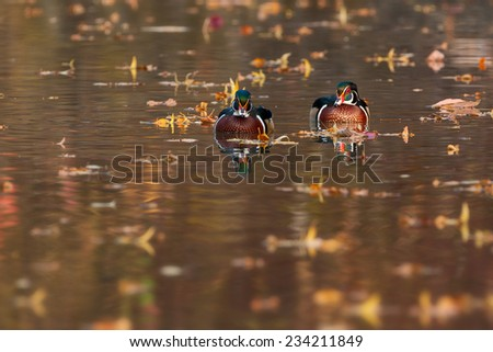 wood duck - stock photo