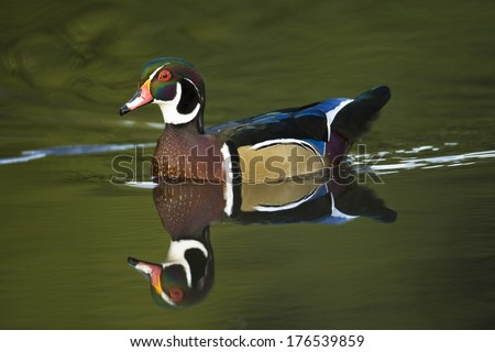 Wood Duck, Aix sponsa, adult male swimming, Chagrin Reservation, Ohio, USA - stock photo