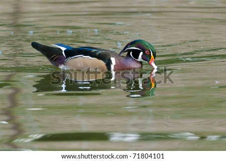 Wood Duck Drake on water