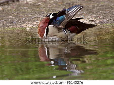 Wood Duck drake standing in pond near shore preening itself - stock photo