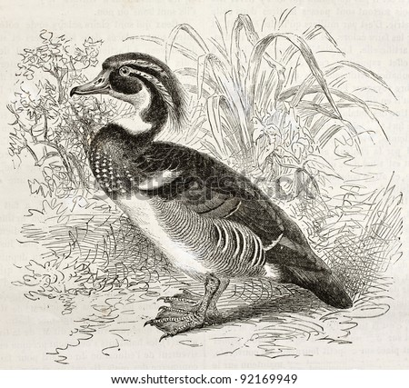 Wood Duck old illustration (Aix sponsa). Created by Kretschmer and Illner, published on Merveilles de la Nature, Bailliere et fils, Paris, ca. 1878 - stock photo