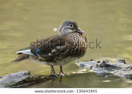Wood Duck or Carolina Duck (Aix sponsa) female - stock photo
